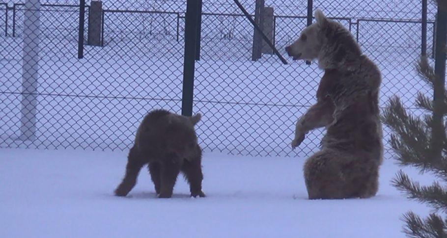 Aç ayılar uyanır uyanmaz merkeze indiler