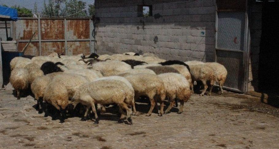 Bakın Çaldığı Koyunların Parasını Nerede Yedi!