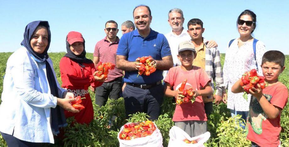 Başkan Çiftçi, tarlada isot hasadına katıldı