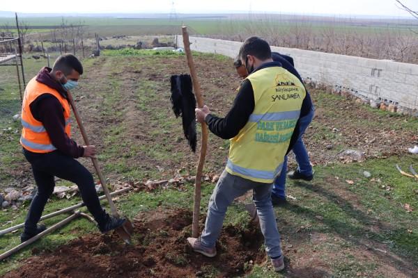 Büyükşehir'den ipekböcekçiliği için dut ağacı desteği