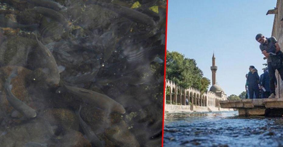 Çankırı'da Balıklıgöl'deki balıkların aynı türleri azalıyor