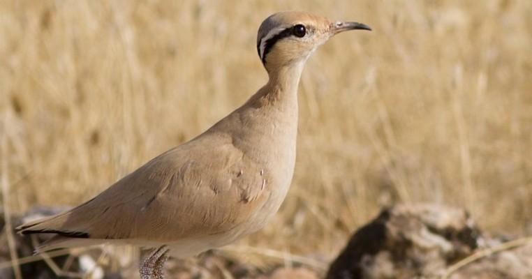 Çöl koşarı kuşları Urfa'da görüntülendi