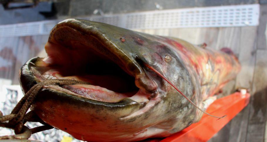 Dev Balık Görenleri Şaşırttı