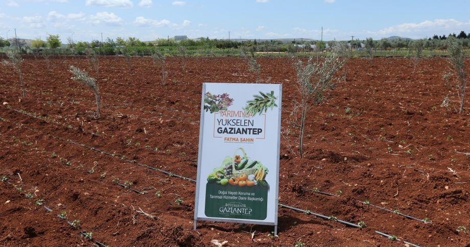 Gaziantep Büyükşehir'in Çiftçilere Sağladığı Fideler Toprakla Buluştu