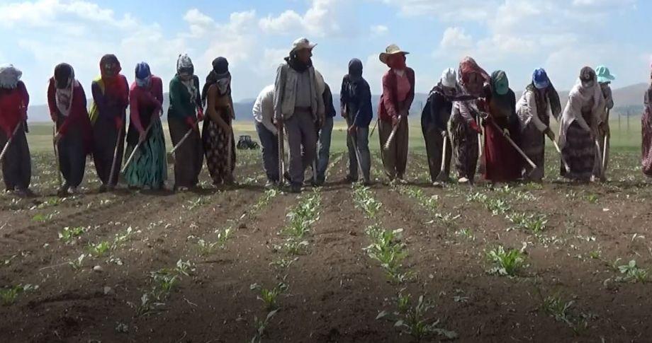 Güneydoğu'dan Muş'a giderek çapa yapan mevsimlik işçiler