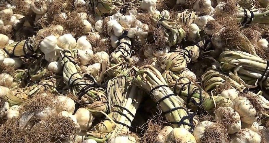 Kahramanmaraş'ta sarımsak hasadına başlandı