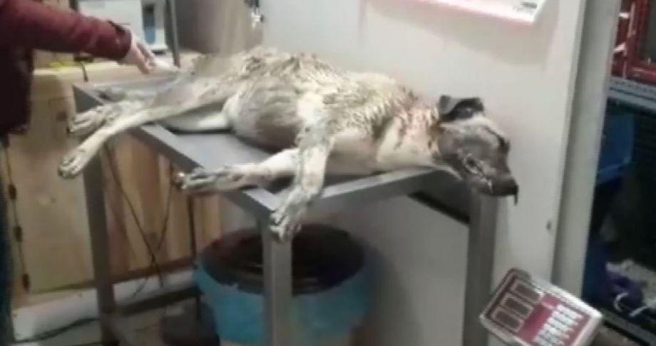 Köpeğe çarptı, veterinere götürdü..