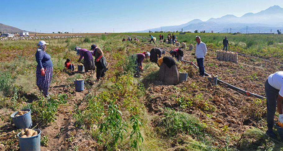 Nevşehir'de patates hasadı başladı
