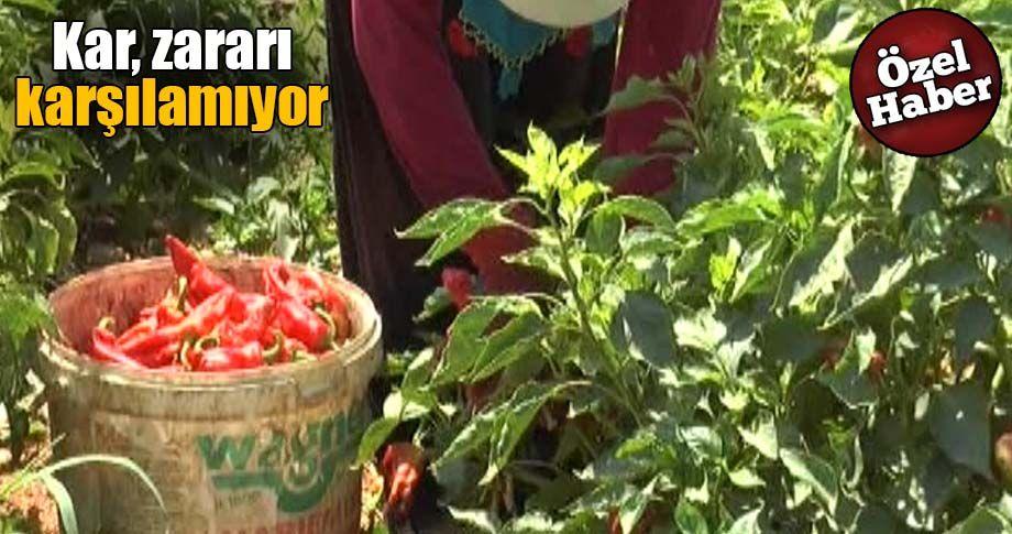 Şanlıurfa'da İsot hasadı sancılı başladı