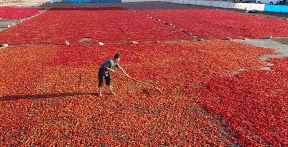 Şanlıurfa'da İsot'un üretim serüveni başladı