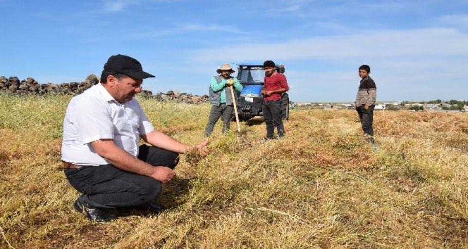Şanlıurfa'da mercimek hasadı sıkıntılı başladı