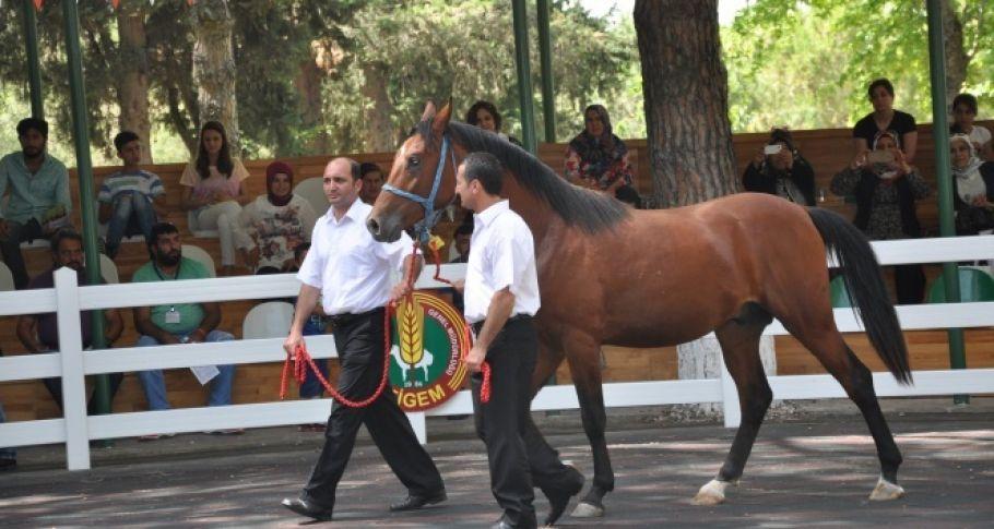 Şanlıurfa'da yarış atları birer birer ölüyor