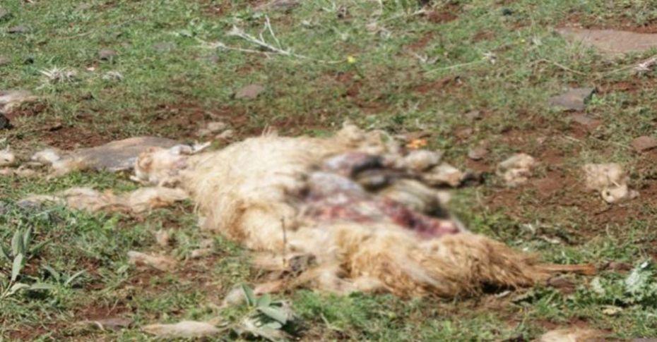 Siverek'te başıboş köpekler koyun sürüsüne saldırdı