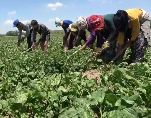 Tarım işçileri için proje başlayacak: Urfa da aralarında!