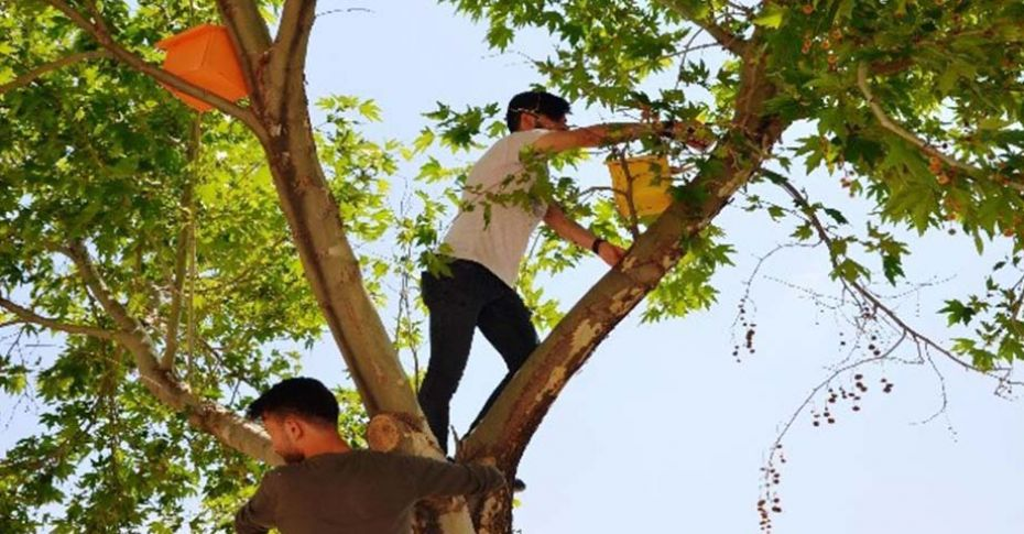Türk ve Suriyeli öğrenciler kampüsteki ağaçlara kuş yuvaları yerleştirdi