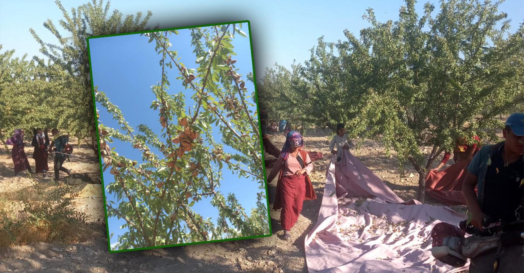 Urfa'nın badem deposunda hasat heyecanı