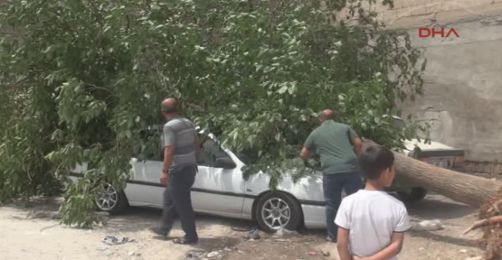 Urfa'da 2 otomobil üzerine ağaç devrildi