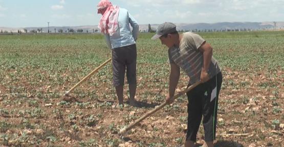 Urfa'da çiftçinin zorlu ramazan mesaisi