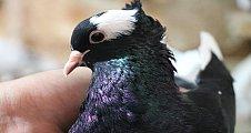 Van Kedisine Şanlıurfadan Rakip Güvercin