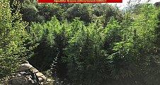 Diyarbakır'da 1 milyon 378 bin 700 kök kenevir bitkisi ele geçirildi